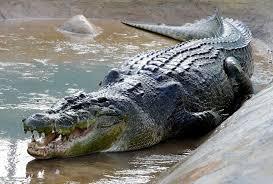 alligator wallpapers hd