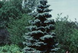 what causes a spruce tree to turn light green home guides sf gate