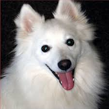 american eskimo dog vs pomeranian dog puzzle american eskimo do android apps on google play