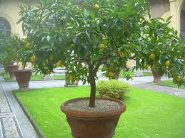 lemon trees in pots are a number of these potted citrus