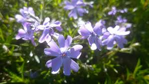 phlox subulata ornamental planting in the garden high definition