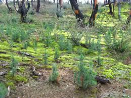 file small pine trees near koliri jpg wikimedia commons