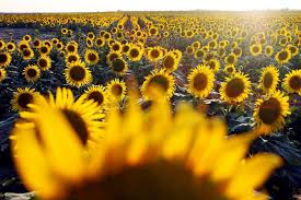 salina ks sunflower field by kansas state university silver linings news salina journal salina ks