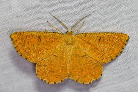 how to get rid of moths naturally