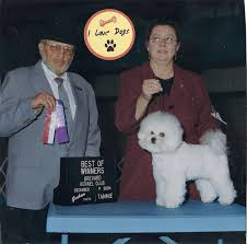bichon frise kennels bichon frise in show ring youtube