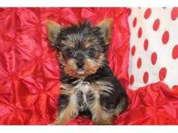 australian shepherd yorkie mix for sale exercise and stimulation for the australian shepherds