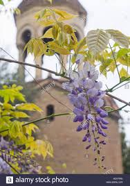 wisteria sinensis australian bush flower blue wisteria stock photos u0026 blue wisteria stock images alamy