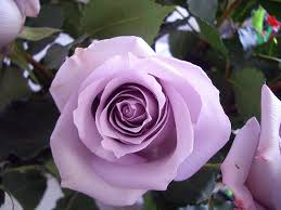lavender roses vera wang lavender lavender violets and