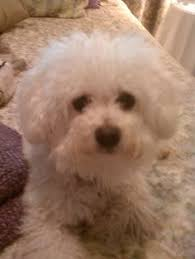 bichon frise kentucky newport ky shih tzu bichon frise mix meet pepita a dog for