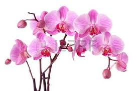 purple orchids purple orchid stock photos royalty free purple orchid images and
