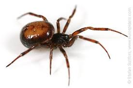 Black Widow Spiders Had A - how to tell the difference between a black widow spider and a false