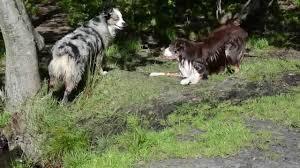 australian shepherd vs miniature american shepherd jaedong u0026 nani miniature american shepherd youtube