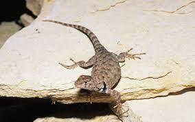 Backyard Reptiles North American Lizards From The Sceloporus Genus