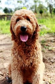 Do Cockapoo Dogs Shed A Lot by 17 Best Dogs Images On Pinterest Puppies Animals And Cockapoo