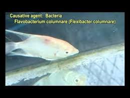 ornamental fish diseases