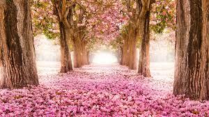 cherry blossom 4k ultra hd wallpaper 4k wallpaper net