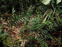 native ginger plant singapore u0027s ginger