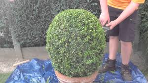 trimming shaping boxwood shrubs youtube
