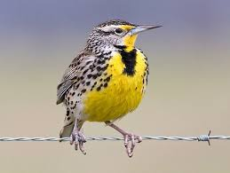 western meadowlark identification all about birds cornell lab