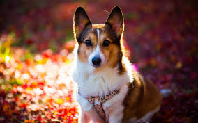 cute dog wallpapers corgi dog wallpaper 49391 1920x1200 px hdwallsource com