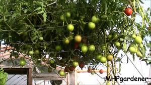 tomato tree or apple tree you make the call youtube