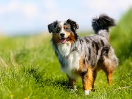 australian shepherd herding sheep 11 active facts about the australian shepherd mental floss