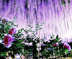 11 great locations to enjoy wisteria arbour in japan tsunagu japan