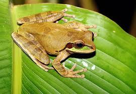 burrowing tree frog