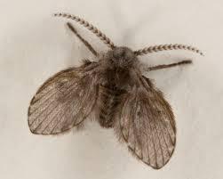 Drain Fly Wikipedia - Small flies in kitchen sink