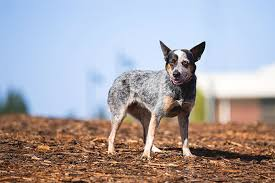 australian shepherd kid friendly australian cattle dog breed information pictures characteristics