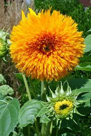 teddy sunflowers growing sunflowers how to plant care for sensational sunflowers