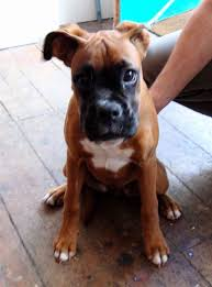 boxer dog 2 months old ryantown dog of this weekend