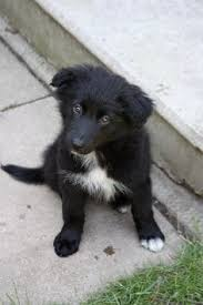 australian shepherd or border collie border collie australian shepherd mix dogs pinterest