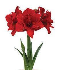 amaryllis flower amaryllis