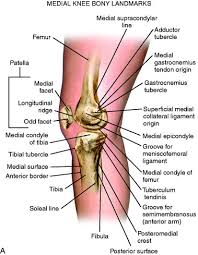 Human Anatomy Anterior Medial And Anterior Knee Anatomy Clinical Gate