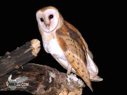 Where Do Barn Owls Live Barn Owl Biology Owling Com