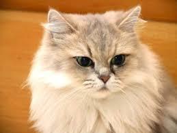 gatti persiani bianchi persiano cani e gatti di zpets