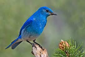 Nevada birds images List of birds of nevada wikipedia jpg