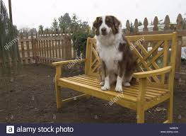 australian shepherd 1 year old dog on bench space for text authority figure molly is an
