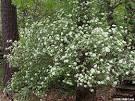 Image result for Viburnum rafinesquianum