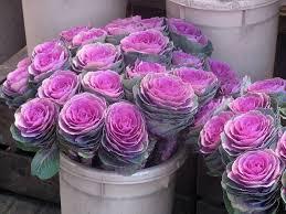 best 25 ornamental cabbage ideas on fall flower pots