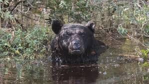 North Carolina wild animals images Black bear bathing in alligator river wildlife refuge jpg