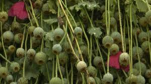 opium north carolina cops bust 500 million opium poppy growing operat