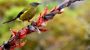 native plants christchurch bellbird korimako new zealand native land birds