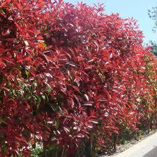 native hedging plants uk buy beech hedging purple j parker dutch bulbs