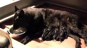 belgian sheepdog training belgian sheepdog puppies birth youtube