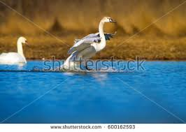 swan fly stock images royalty free images vectors