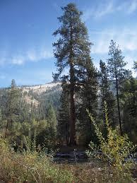 rocky mountain ponderosa pine pinus ponderosa var scopulorum