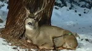 Oregon wildlife images Oregon wildlife workers save deer from arrow shot kboi jpg