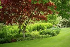 acer palmatum bloodgood japanese garden gardening step